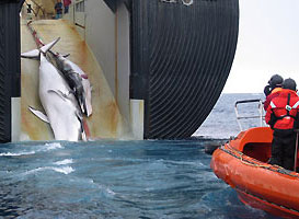 Japan whalers brutally slaughter a whale mother and her calf