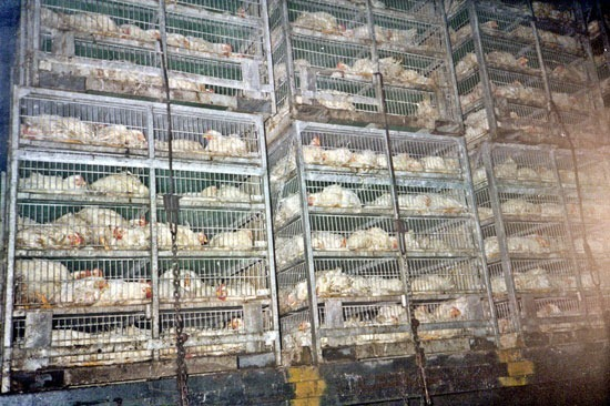 Chickens Packed On a Truck for the Slaughterhouse