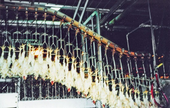 Chickens Hung Up For Slaughter