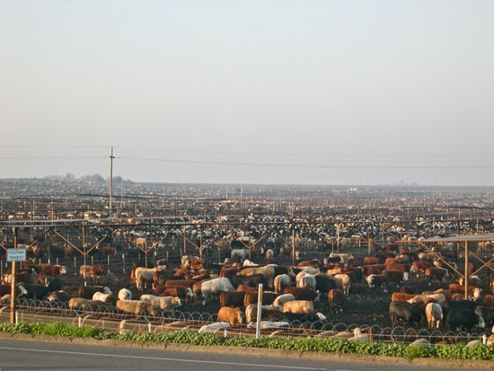 Beef Cattle in a California Feedlot