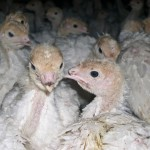 Due to the severely overcrowded conditions they will face, baby turkeys have the upper part of their beaks seared off so that injuries caused by pecking one another can be minimized.