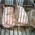 As you can see, a female pig in a gestation crate has no freedom of movement, and barely even has room to lay down.