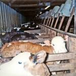 To raise calves destined to be slaughtered for veal, the calves are confined in crates about two feet wide and are tethered to the front of the crate with a chain around the neck. These calves will be slaughtered when 4-5 months old.