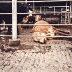 Dairy cattle make up the largest percentage of downed animals in factory farming, 75%. Too sick or injured to walk, this dairy cow is left in the stockyard while a calf looks on.