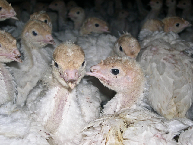 Overcrowded factory farms