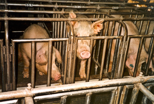 Female pigs