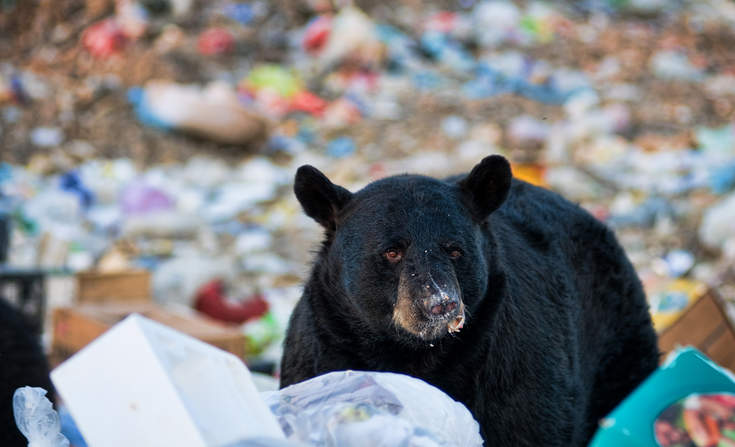 bear_eating_food_waste.jpg.4075acf7071a2
