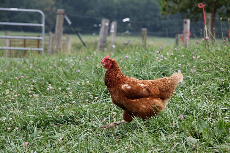 Organic Farm Hens