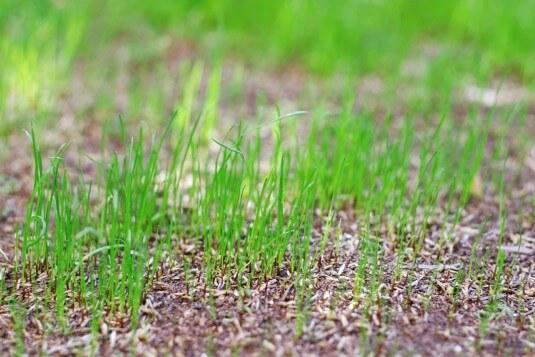 First shoots of our new lawn