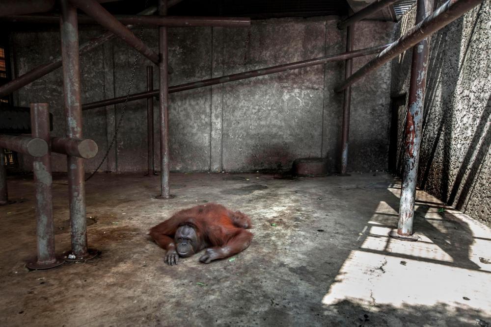 chimp in zoo.jpg
