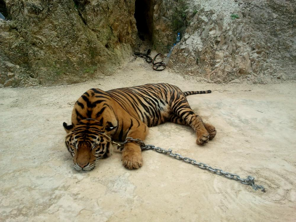 tiger in zoo.jpg